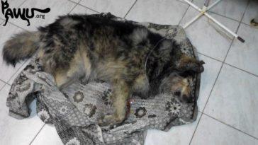 Vergifteter Strassenhund wurde gerettet