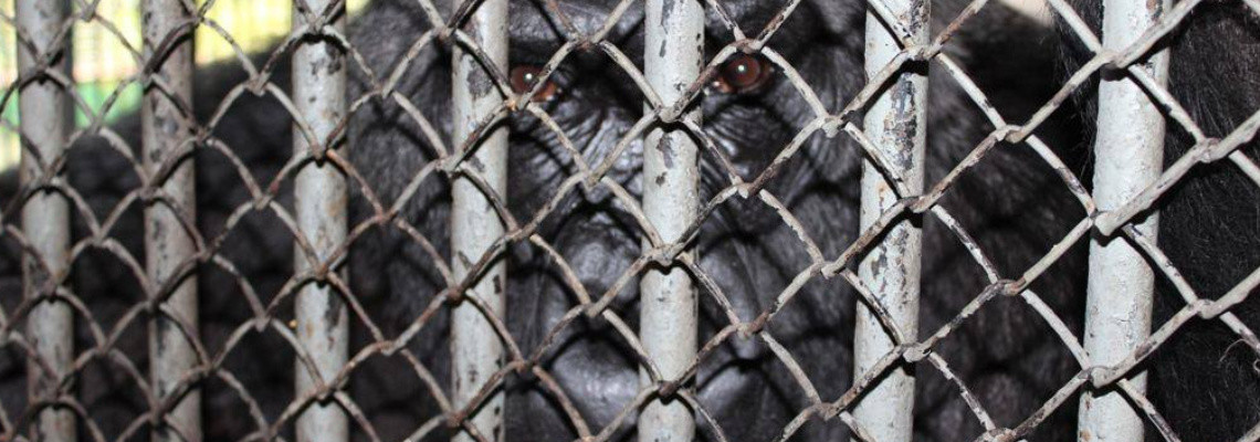 Gorilla Toni im Zoo in Kiew