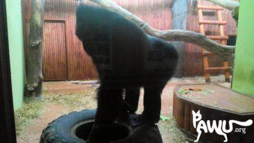 Gorilla Toni 17.04.2015