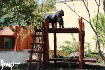 Gorilla Toni´s erster Ausgang in das neue Außengehege!!!
