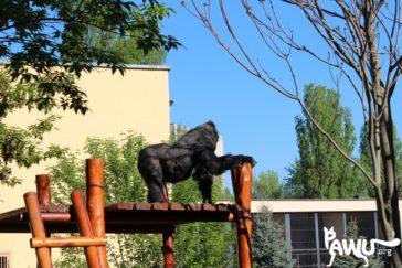"""Gorilla Toni – Beitrag in der WDR Sendung """"Tiere suchen ein Zuhause"""""""