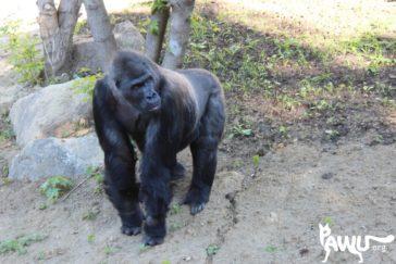 Gorilla Toni – 06.05.2015 – Album 2