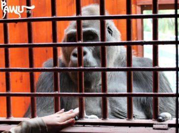Besuch bei Gorilla Toni im Zoo Kiew am 28.09.2015