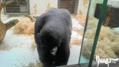 Gorilla Fritz, Tonis Vater in Nürnberg