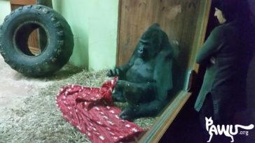 Gorilla Toni im Zoo Kiew – mit seiner Decke