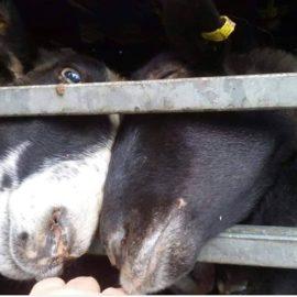 Höllenqual für 300 Schafe in der Ukraine / Türkei!!!