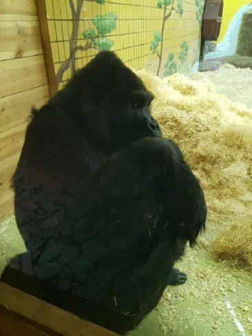 Gorilla Toni / Kiew